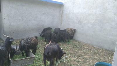 山东省烟台市牟平区黑山羊 50-80斤