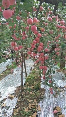 山东省烟台市栖霞市红富士苹果 80mm以上 条红 纸袋