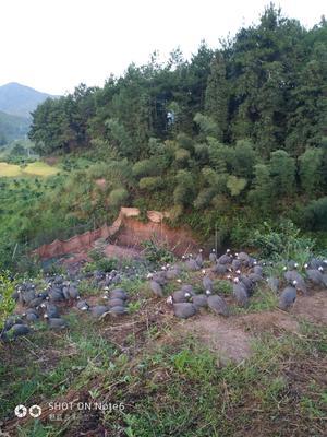 广东省清远市清新区灰色珍珠鸡 2-4斤