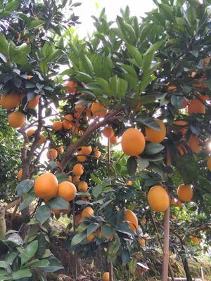 这是一张关于9号脐橙 55mm以下 4两以下 的产品图片
