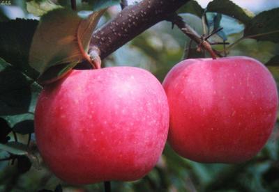 陕西省延安市洛川县嘎啦苹果 75mm以上 统货 纸+膜袋