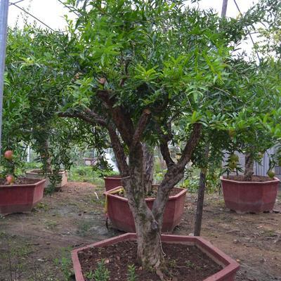 山东省枣庄市市中区造型石榴树