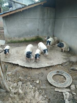 四川省德阳市中江县巴马香猪 20斤以下