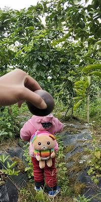 广西壮族自治区钦州市灵山县紫红色百香果 50 - 60克