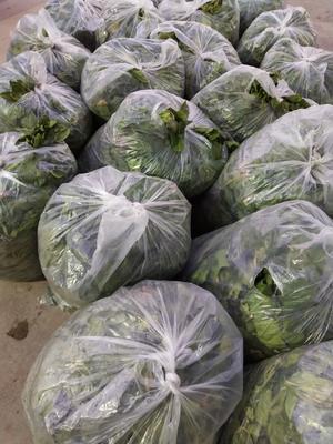 河南省周口市项城市大叶菠菜 25~30cm