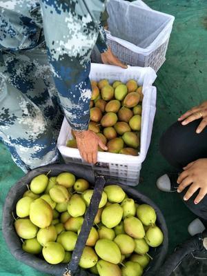 陕西省渭南市蒲城县红香酥梨 60mm以上 250-300g