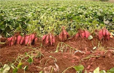 云南省文山壮族苗族自治州丘北县鸡蛋黄红薯 3两以下 红皮