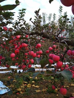 山东省临沂市蒙阴县富硒苹果 75mm以上 全红 纸+膜袋