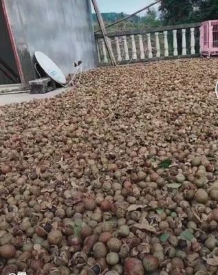 广西壮族自治区百色市隆林各族自治县野生山茶油