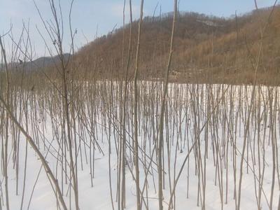 吉林省通化市柳河县银中杨  别的各种树苗都有大量