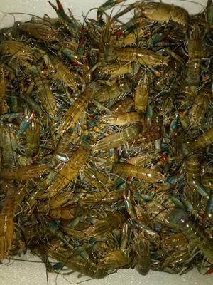 这是一张关于澳洲淡水龙虾 进口 0.4斤/只以下 的产品图片