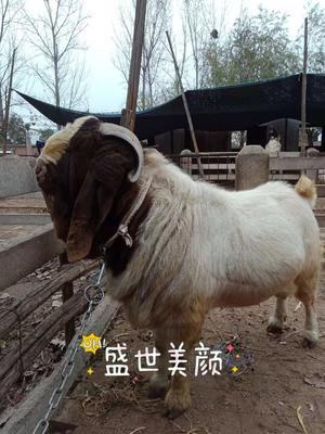 这是一张关于波尔山羊 80-110斤 的产品图片