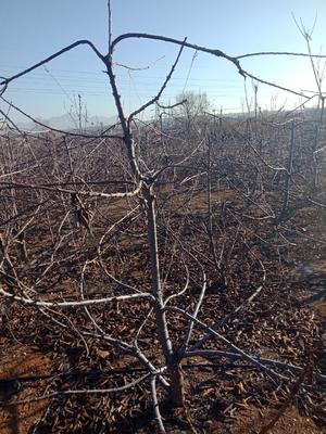辽宁省大连市金州区美早樱桃  15-20mm 8-12g 大量美早樱桃树
