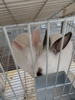 广西壮族自治区梧州市岑溪市肉兔 5斤以上