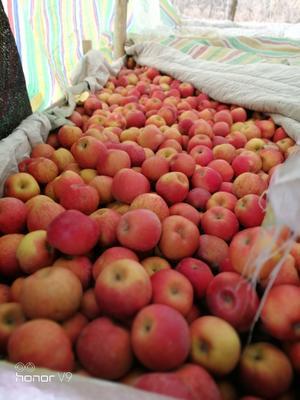 河南省郑州市中牟县阿克苏冰糖心苹果 80mm以上 条红 光果