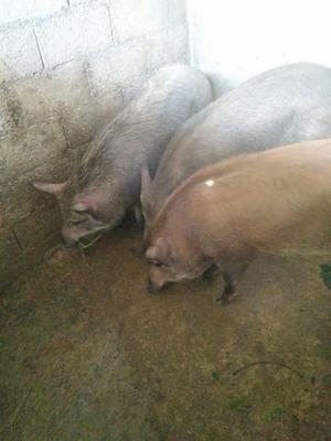 云南省临沧市云县生态野猪 统货 160斤以上