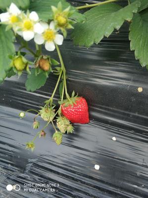 江苏省扬州市江都区红颜草莓 30克以上