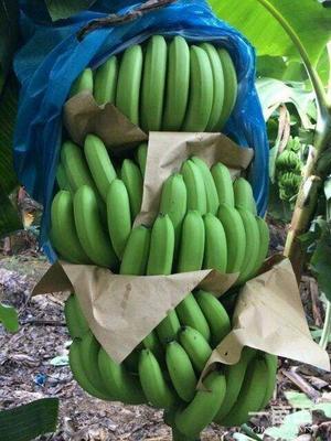 云南省红河哈尼族彝族自治州屏边苗族自治县河口香蕉 七成熟