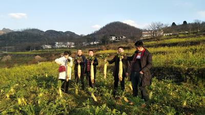 贵州省六盘水市六枝特区韩国白萝卜 4斤以上