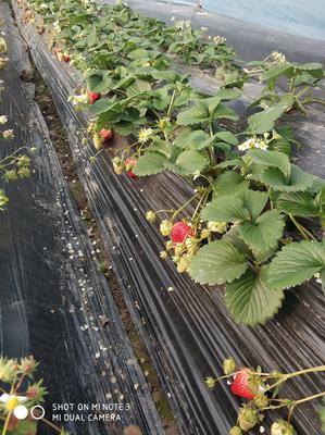 江苏省扬州市江都区红颜草莓 20克以下