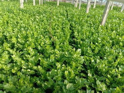 山东省济南市济阳县美国文图拉芹菜 60cm以上 0.5~1.0斤 大棚种植