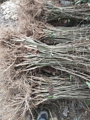 这是一张关于皱皮木瓜苗 的产品图片