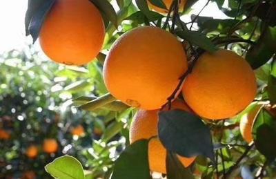 这是一张关于9号脐橙 65 - 70mm 4-8两 的产品图片