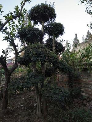 湖北省荆门市京山县对节白蜡 3.5~5米
