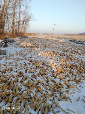 黑龙江省哈尔滨市依兰县玉米湿粮 净货 水份20%-30%