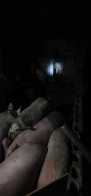 湖南省湘西土家族苗族自治州保靖县土杂猪 300斤以上