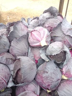 河南省南阳市新野县紫甘蓝 2.5~3.0斤