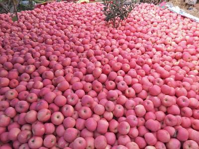 山东省临沂市蒙阴县红富士苹果 75mm以上 片红 纸袋