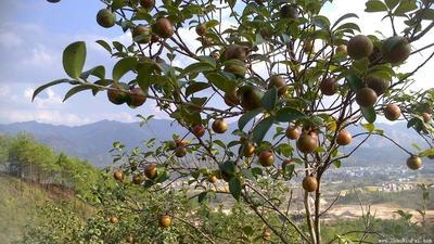 广西壮族自治区桂林市平乐县野生山茶油