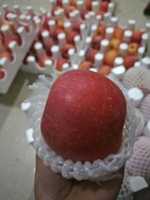 山东省临沂市蒙阴县红富士苹果 80mm以上 条红 光果
