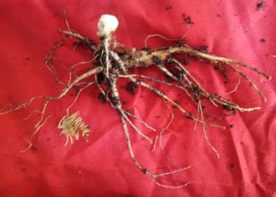 这是一张关于野生人参 鲜参 的产品图片