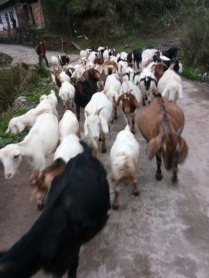 四川省雅安市雨城区山羊 30-50斤