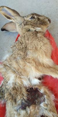河南省新乡市原阳县野兔  3-5斤 纯野兔。