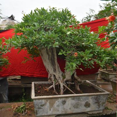 山东省枣庄市市中区石榴树盆栽