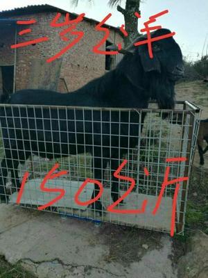 云南省昆明市禄劝彝族苗族自治县努比亚羊 30-50斤