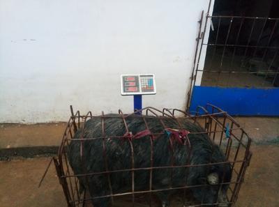 湖南省永州市零陵区藏香猪 80斤以上