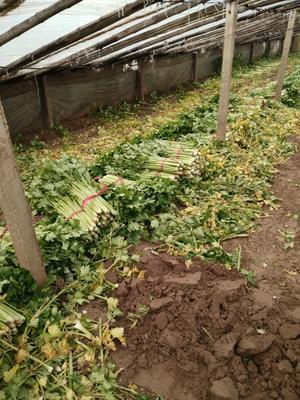 山东省菏泽市曹县法国皇后芹菜 60cm以上 1.0~1.5斤 大棚种植