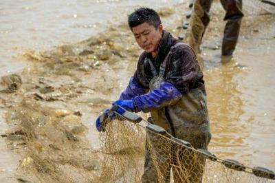 湖南省益阳市沅江市池塘草鱼 人工养殖 1-2.5公斤