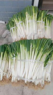 贵州省安顺市西秀区铁杆大葱 30~50cm 毛葱