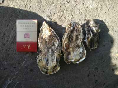 山东省威海市文登区乳山牡蛎 野生 3-4两/只