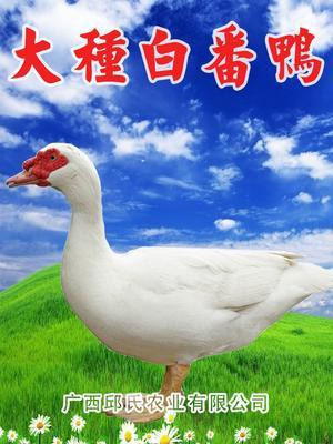 广西壮族自治区南宁市兴宁区大种白番鸭苗