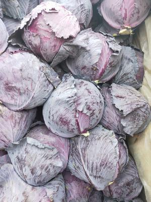 河北省邯郸市永年县紫甘蓝 2.0~2.5斤