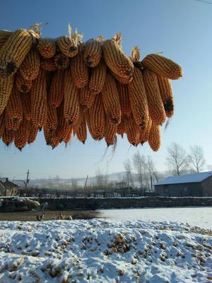 黑龙江省哈尔滨市巴彦县玉米湿粮 毛货 水份20%-30%