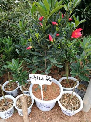 广西壮族自治区钦州市灵山县山茶花  50~80cm 四季红山茶花 盆景树