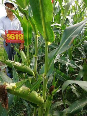 这是一张关于冀农619 净货 水份14%-16% 的产品图片