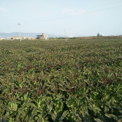 福建省福州市福清市红叶香莴苣 1.5~2.0斤 40-50cm